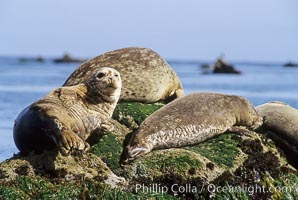 Pacific harbor seals hauled out on a rock, Phoca vitulina richardsi, Monterey, California