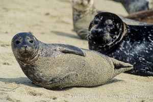 A Pacific harbor seal hauls out on a sandy beach.  This group of harbor seals, which has formed a breeding colony at a small but popular beach near San Diego, is at the center of considerable controversy.  While harbor seals are protected from harassment by the Marine Mammal Protection Act and other legislation, local interests would like to see the seals leave so that people can resume using the beach, Phoca vitulina richardsi, La Jolla, California