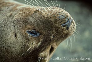 Whiskers of a Pacific harbor seal, Phoca vitulina richardsi, La Jolla, California
