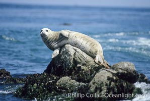 A Pacific harbor seal hauls out on a rock, Phoca vitulina richardsi, Monterey, California