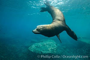 Large adult male sea lion underwater, Zalophus californianus, Sea of Cortez