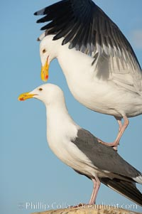 Image 18398, Western gulls, courtship behaviour. La Jolla, California, USA, Larus occidentalis, Phillip Colla, all rights reserved worldwide. Keywords: animal, animalia, aves, bird, california, charadriiformes, chordata, creature, gull, la jolla, laridae, larus, larus occidentalis, mating and courtship, nature, occidentalis, seabird, seabird behavior, seagull, usa, vertebrata, vertebrate, western gull, wildlife.