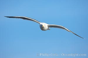Western gull in flight, Larus occidentalis, La Jolla, California