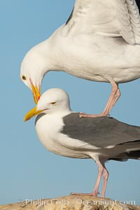 Western gulls, courtship behaviour. La Jolla, California, USA, Larus occidentalis, natural history stock photograph, photo id 18408