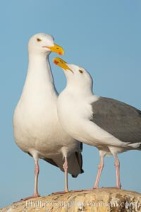 Western gulls, courtship behaviour. La Jolla, California, USA, Larus occidentalis, natural history stock photograph, photo id 18412