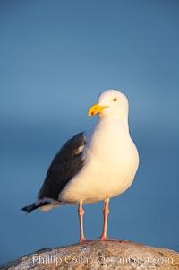 Western gull on sandstone cliffs, Larus occidentalis, La Jolla, California