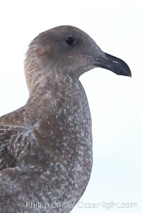 Western gull, juvenile, Larus occidentalis, San Diego, California