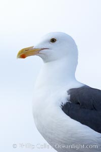 Western gull, adult, Larus occidentalis, San Diego, California