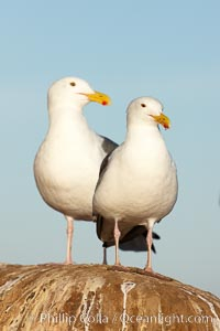 Western gulls. La Jolla, California, USA, Larus occidentalis, natural history stock photograph, photo id 22281