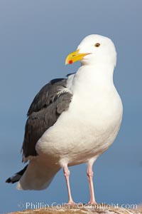 Western gull portrait, Larus occidentalis, La Jolla, California