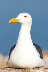 Western gull portrait, Larus occidentalis, La Jolla, California