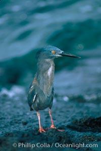 Lava heron. Galapagos Islands, Ecuador, Butorides sundevalli, natural history stock photograph, photo id 02275