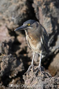 Image 16587, Lava heron on volcanic rocks at the oceans edge, Punta Albemarle. Isabella Island, Galapagos Islands, Ecuador, Butorides sundevalli