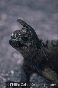 Lava lizard perched on marine iguana, Punta Espinosa, Tropidurus, Amblyrhynchus cristatus, Fernandina Island