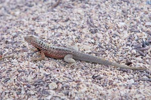 Lava lizard, North Seymour Island