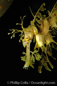 Leafy Seadragon., Phycodurus eques, natural history stock photograph, photo id 07821