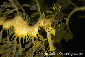Leafy Seadragon., Phycodurus eques, natural history stock photograph, photo id 14469