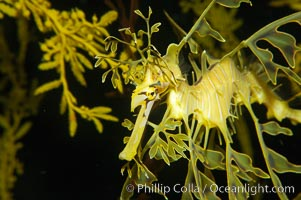 Leafy Seadragon., Phycodurus eques, natural history stock photograph, photo id 14555