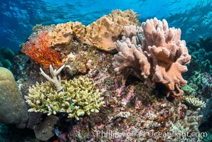 Leather coral, gorgonian and stony corals, on a South Pacific coral reef, Fiji, Sarcophyton, Gorgonacea, Vatu I Ra Passage, Bligh Waters, Viti Levu  Island