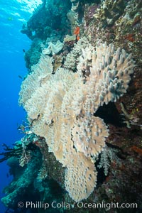 Leather coral, Sinularia sp, Fiji, Sinularia, Vatu I Ra Passage, Bligh Waters, Viti Levu  Island