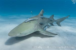 Lemon shark with live sharksuckers. Bahamas, Negaprion brevirostris, Echeneis naucrates, natural history stock photograph, photo id 10753