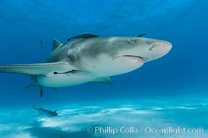 Lemon shark with live sharksuckers. Bahamas, Negaprion brevirostris, Echeneis naucrates, natural history stock photograph, photo id 10754