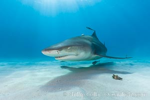 Lemon shark. Bahamas, Negaprion brevirostris, natural history stock photograph, photo id 10755