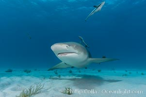 Lemon shark with live sharksuckers. Bahamas, Negaprion brevirostris, Echeneis naucrates, natural history stock photograph, photo id 10759