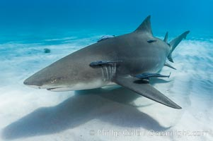 Lemon shark with live sharksuckers. Bahamas, Negaprion brevirostris, Echeneis naucrates, natural history stock photograph, photo id 10761