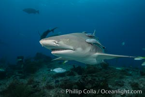 Lemon shark. Bahamas, Negaprion brevirostris, natural history stock photograph, photo id 32015