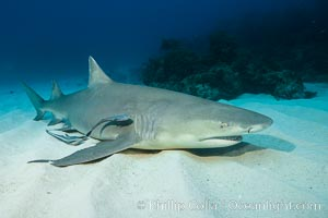 Lemon shark. Bahamas, Negaprion brevirostris, natural history stock photograph, photo id 32017