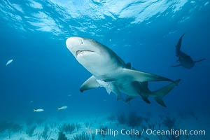 Lemon shark. Bahamas, Negaprion brevirostris, natural history stock photograph, photo id 32019