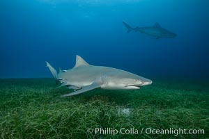 Lemon shark. Bahamas, Negaprion brevirostris, natural history stock photograph, photo id 32025