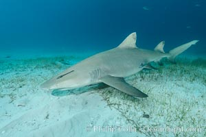 Lemon shark. Bahamas, Negaprion brevirostris, natural history stock photograph, photo id 32026