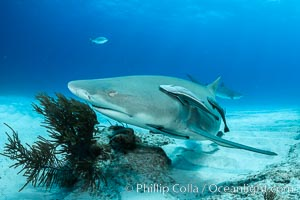 Lemon shark. Bahamas, Negaprion brevirostris, natural history stock photograph, photo id 32029