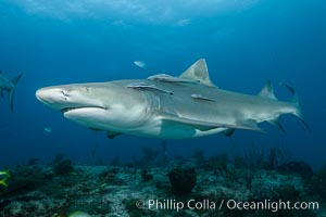 Lemon shark. Bahamas, Negaprion brevirostris, natural history stock photograph, photo id 32030