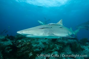 Lemon shark. Bahamas, Negaprion brevirostris, natural history stock photograph, photo id 32031