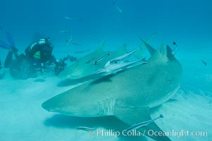 Lemon shark and photographer Jim Abernethy, Negaprion brevirostris