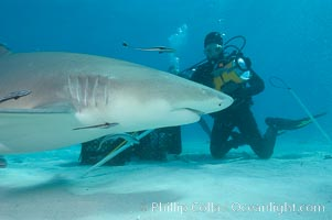 Lemon shark investigates a box of bait tended by a videographer, Negaprion brevirostris