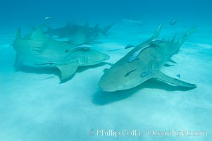Lemon shark with live sharksuckers. Bahamas, Negaprion brevirostris, Echeneis naucrates, natural history stock photograph, photo id 10763