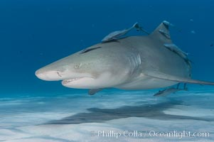 Lemon shark with live sharksuckers. Bahamas, Negaprion brevirostris, Echeneis naucrates, natural history stock photograph, photo id 10764