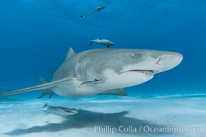 Lemon shark with live sharksuckers. Bahamas, Negaprion brevirostris, Echeneis naucrates, natural history stock photograph, photo id 10774