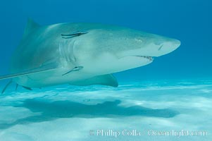 Lemon shark. Bahamas, Negaprion brevirostris, natural history stock photograph, photo id 10775