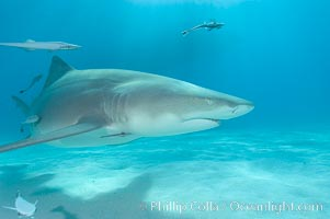 Lemon shark. Bahamas, Negaprion brevirostris, natural history stock photograph, photo id 10776
