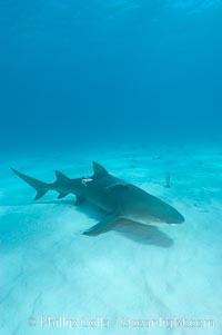 Lemon shark, Negaprion brevirostris