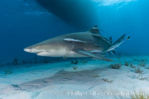 Lemon shark with live sharksuckers. Bahamas, Negaprion brevirostris, Echeneis naucrates, natural history stock photograph, photo id 10781