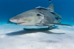 Lemon shark with live sharksuckers. Bahamas, Negaprion brevirostris, Echeneis naucrates, natural history stock photograph, photo id 10785