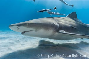 Lemon shark with live sharksuckers. Bahamas, Negaprion brevirostris, Echeneis naucrates, natural history stock photograph, photo id 10789