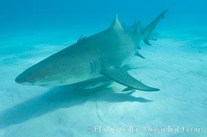 Image 10807, Lemon shark. Bahamas, Negaprion brevirostris