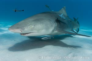 Lemon shark with live sharksuckers. Bahamas, Negaprion brevirostris, Echeneis naucrates, natural history stock photograph, photo id 10811